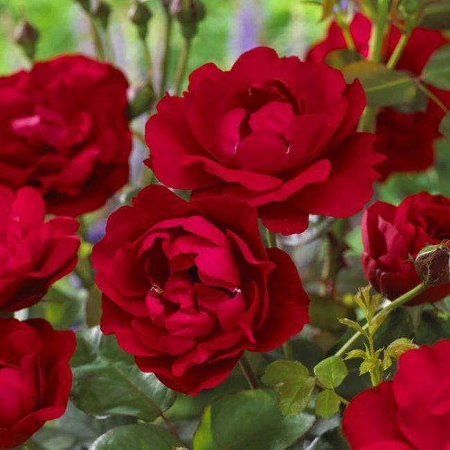 floribunda rose nina weibull landscaping garden. Black Bedroom Furniture Sets. Home Design Ideas